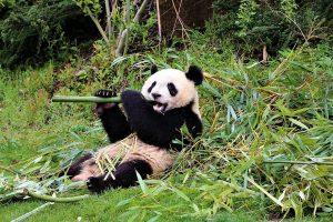 panda zoo de beauval camping