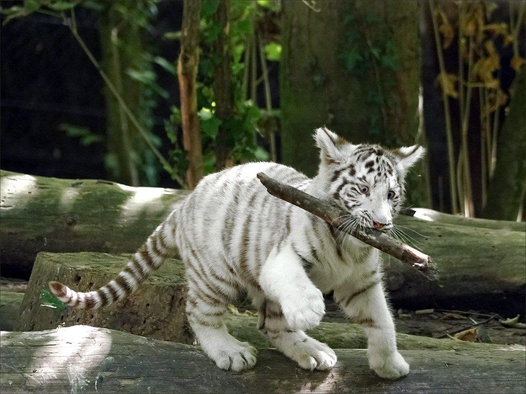 Tigre Zoo de Beauval Camping La Grande Tortue